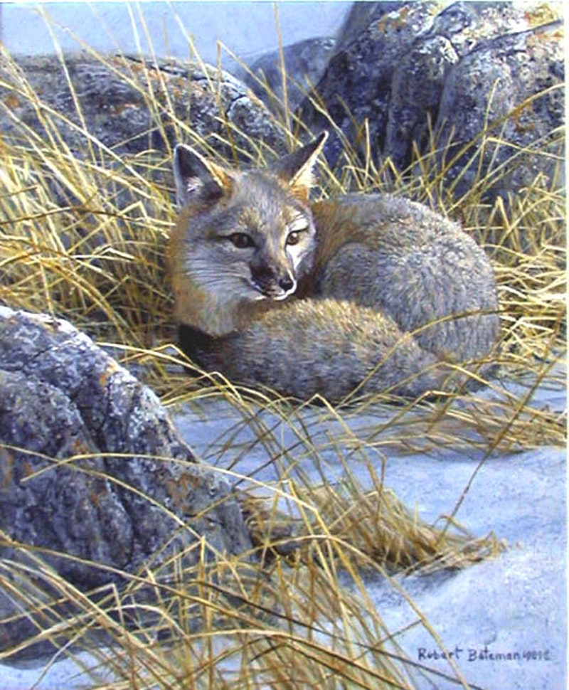 Kit Fox Image 1
