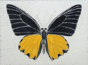 A Troides Butterfly