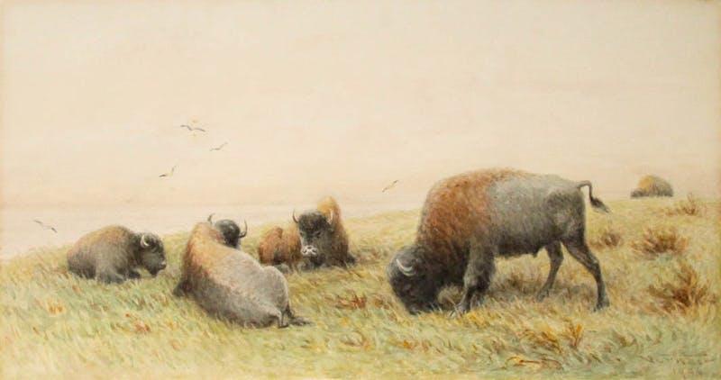 Grazing Buffalo Image 1