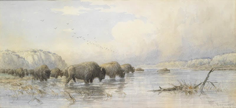 Herd of Buffalo Watering Image 1
