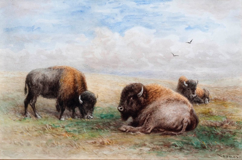 Buffalo Resting Image 1