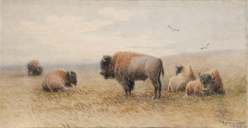 Plains Buffalo Resting