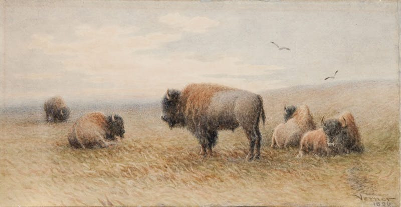 Plains Buffalo Resting Image 1