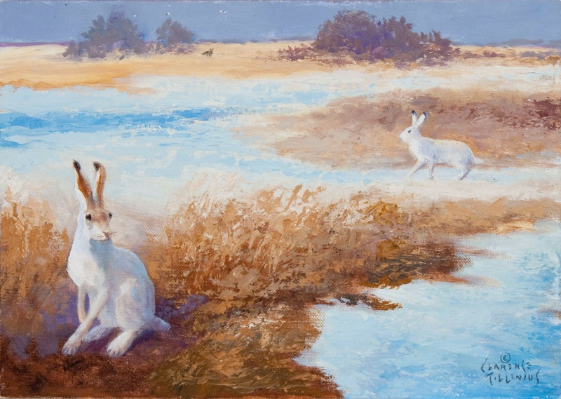 Jack Rabbits Alert to Distant Coyote