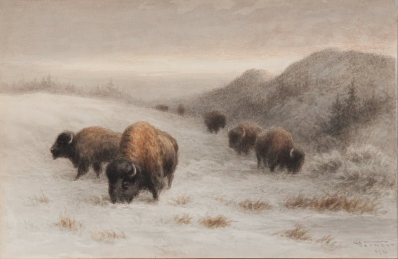 Buffalo Grazing on a Hillside