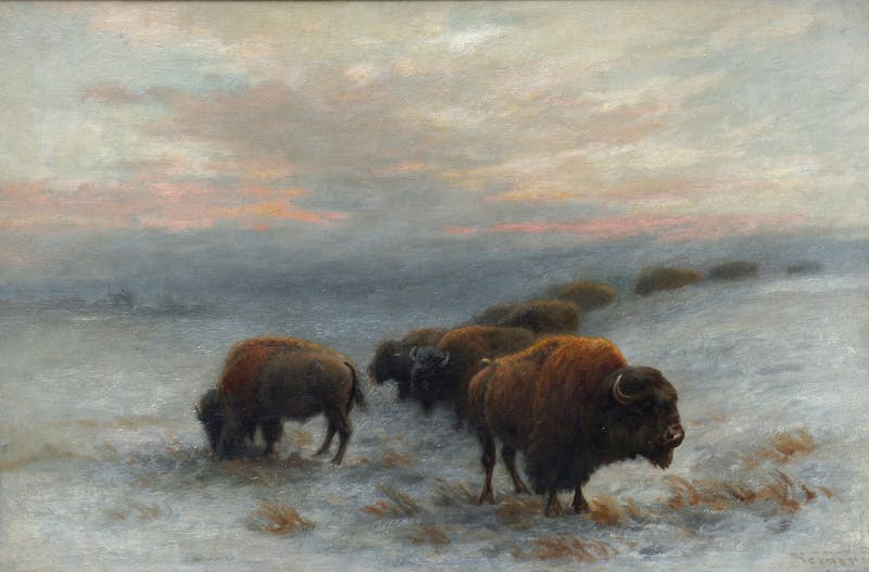 Bison Foraging in Winter