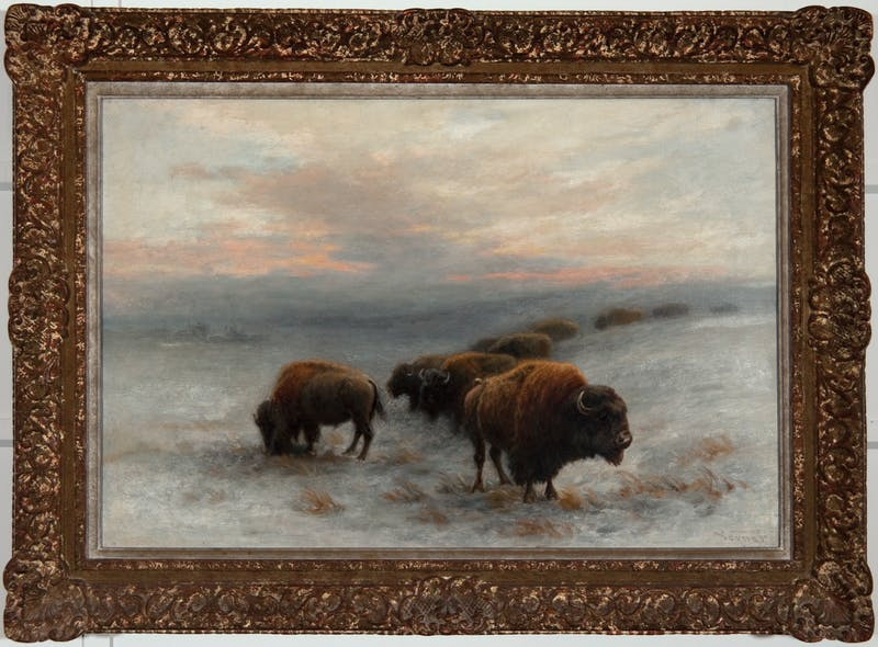 Bison Foraging in Winter Image 2