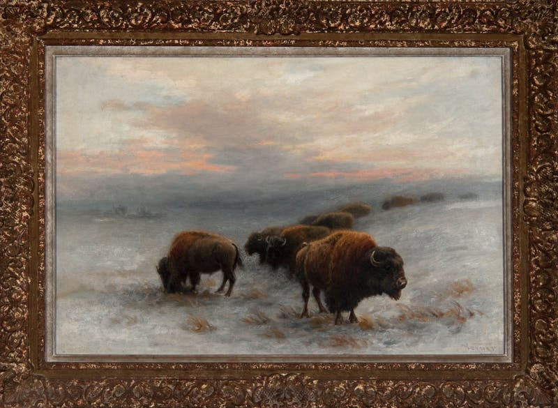Bison Foraging in Winter Image 3