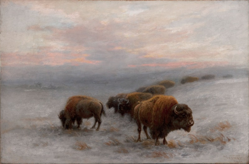 Bison Foraging in Winter Image 6